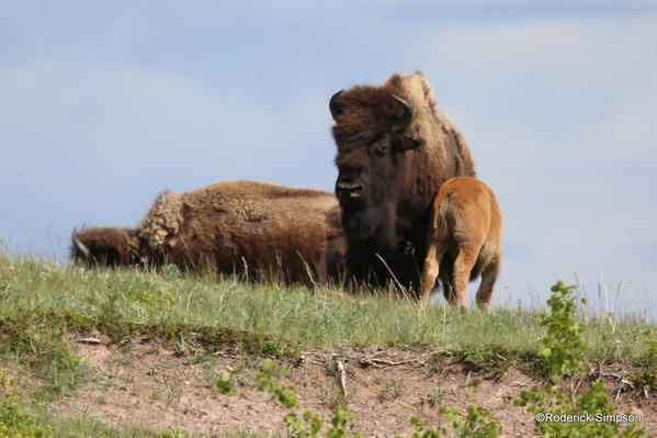 Bison, Waterton National Park