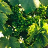Grapes: Green Joy