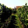 Vineyard: Vineyard