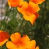 California Poppies, Wawona Hotel, Yosemite National Park