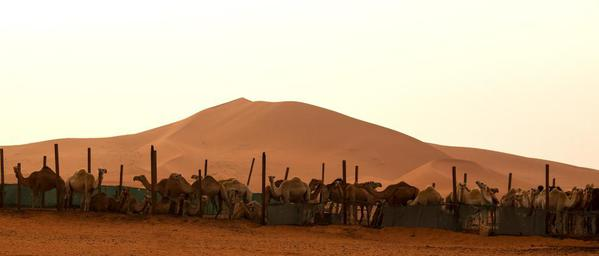 Saudi Arabia Riyadh. Camels and sands