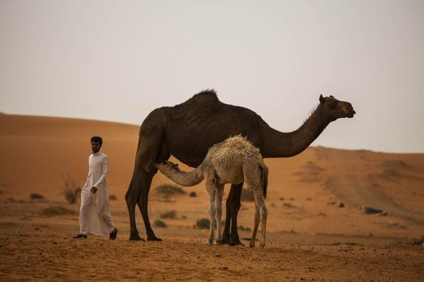 Saudi Arabia Riyadh Sands. Camels and bedouin