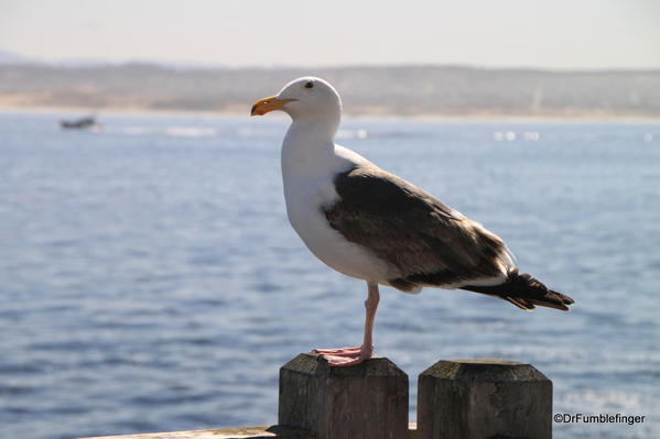 Seagull on Waterfront, Cannery Row