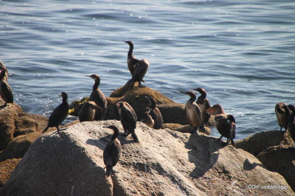 Cormorants, Waterfront, Cannery Row