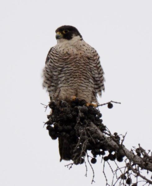 Peregrine Falcon (9)