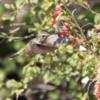 Hummingbird, Betty Ford Alpine Garden, Vail