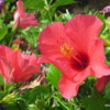 Landscaping, Hapuna Beach Prince Resort.  Hawaiian hibiscus are the size of a small frisbee