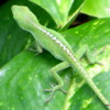One of the residents, Hapuna Beach Prince Resort is the Geico gecko