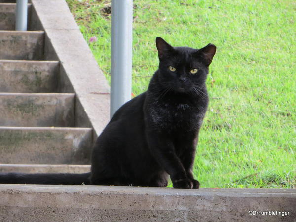 Feral cat, Hapuna Beach Prince Resort. As with all cats, they think they run the joint