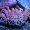 Canadian Waters Gallery, Ripley's Aquarium of Canada, Toronto. Red (Alaskan) King Crab