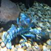 Canadian Waters Gallery, Ripley's Aquarium of Canada, Toronto Rare Blue lobster