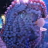 Canadian Waters Gallery, Ripley's Aquarium of Canada, Toronto.  Giant Pacific Octopus