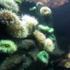 Canadian Waters Gallery, Ripley's Aquarium of Canada, Toronto.  Anenome