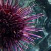 Canadian Waters Gallery, Ripley's Aquarium of Canada, Toronto.  Sea Urchin