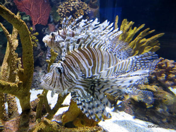 The Gallery, Ripley's Aquarium of Canada, Toronto. Clearfin Lionfish