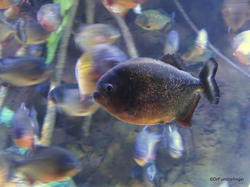 The Gallery, Ripley's Aquarium of Canada, Toronto. Red-bellied piranha