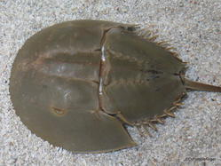 Discovery Center, Ripley's Aquarium of Canada, Toronto. Horshoe Crab touching pool