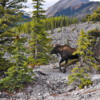 A surprise moose encounter, by the Upper Kananakis Lake, Alberta