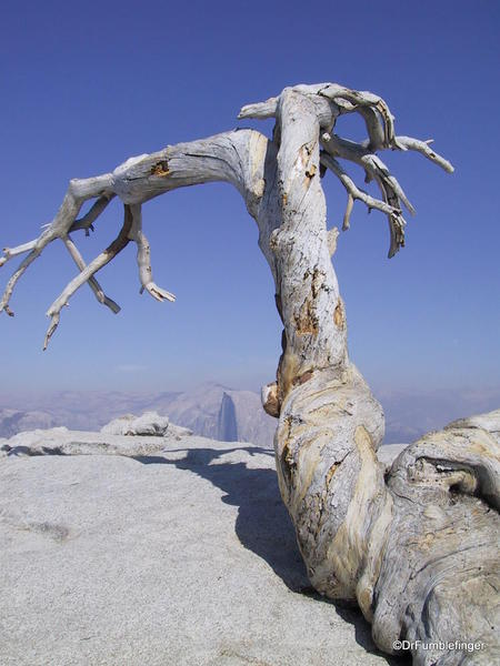 Dead Jeffrey Pine on Sentinel Dome, Yosemite National