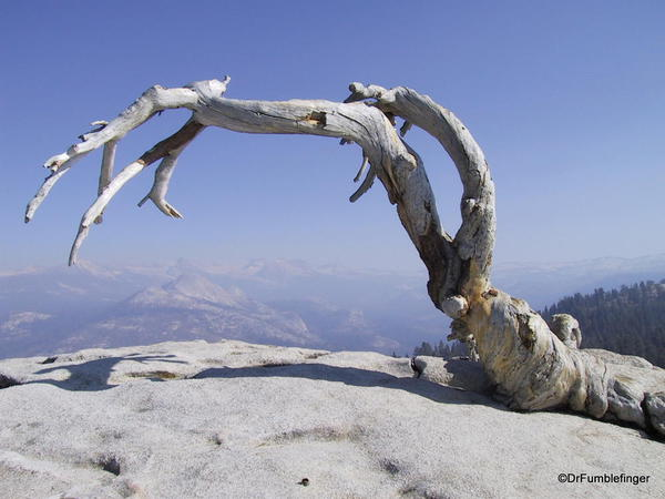 Jeffrey Pine on Sentinel Dome, Yosemite National
