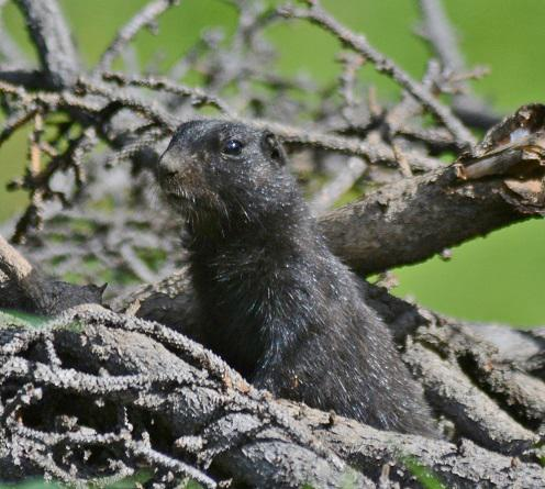 Black Squirrel 1ccs