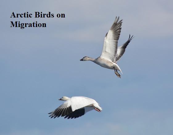 Snow-Goose-flying-1cs-text