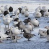 Snow-Geese-4-diff-abcd