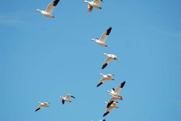Snow-Geese-12s