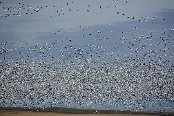 Snow-Goose-flock-20s