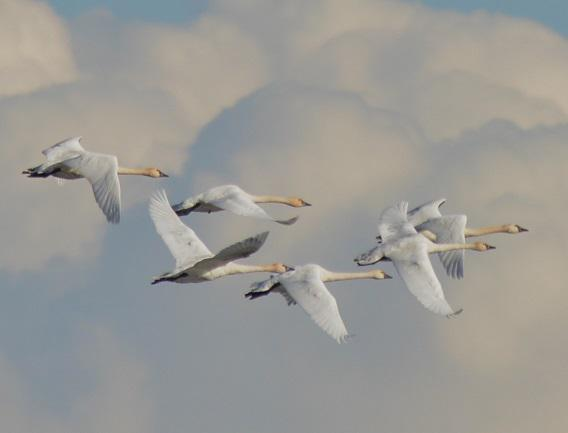 Tundra-Swans-flying-3cs