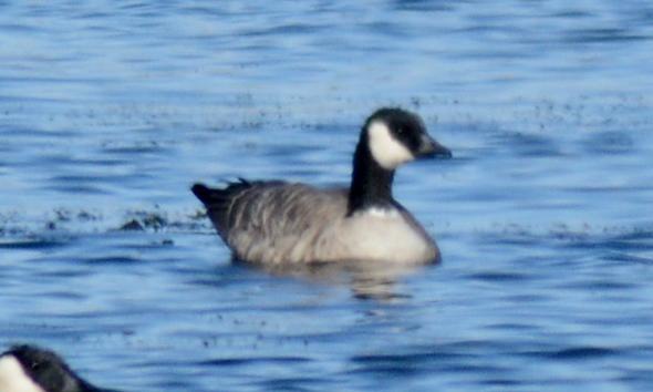 Cackling-Goose-2cc