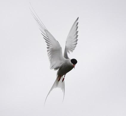 Arctic-Tern-1cs