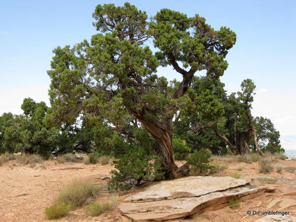 Colorado National Monument, forest on the high desert