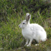 Artic hare, Greenland