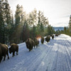 Bison traffic jam, Yellowstone National Park