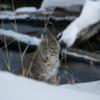 Bobcat, Yellowstone National Park