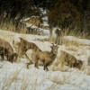Rocky Mountain Bighorn Sheep, Yellowstone National Park