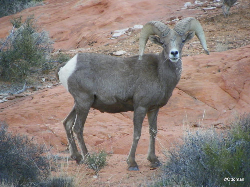 Gumbo S Pic Of The Day February 12 2015 Desert Bighorn Sheep Valley Of Fire State Park Nevada Travelgumbo