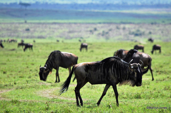 Surrounded by wildebeest; part of the Great Migration