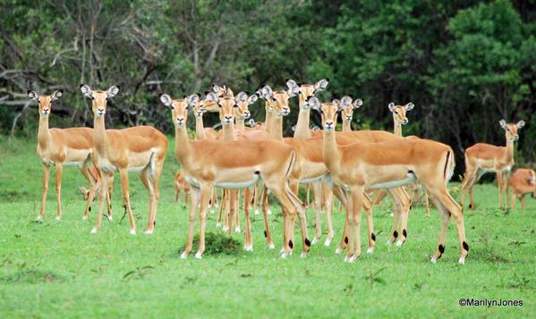 Harem of gazelles