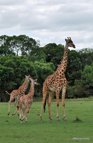 A mother giraffe and her babies