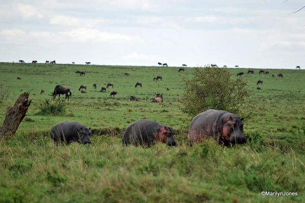 Hippos change watering holes during the day