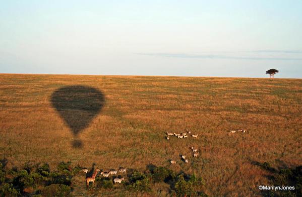 The balloon soars over zebras and a giraffe