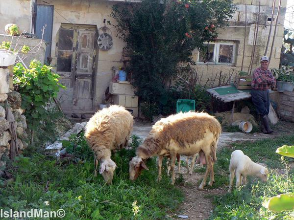 Maltese Sheep