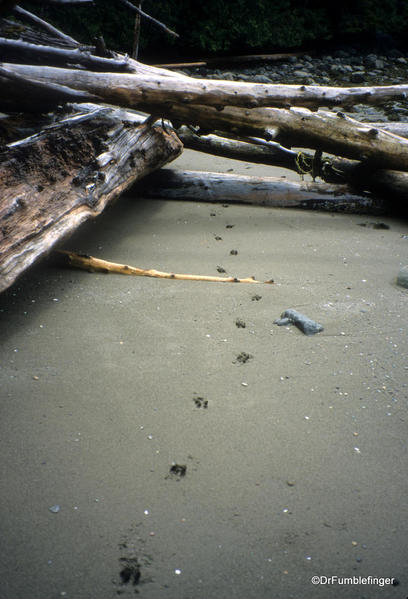 Moose tracks, Louise Island, Haida Gwaii