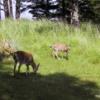 Louise Island, Haida Gwaii, Deer