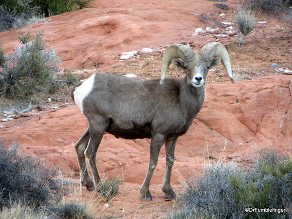 Desert Bighorn sheep ram, Valley of Fire State Park