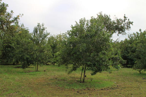 Macadamia nut trees, Mauna Loa Macadamia Nut Factory Tour