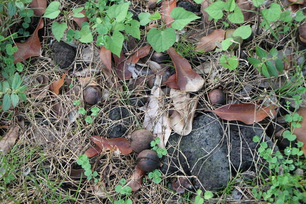 Macadamia nuts fallen to the ground. They are swept up and taken to the factory, Mauna Loa Macadamia Nut Factory Tour