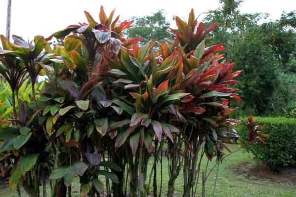 Garden, Mauna Loa Macadamia Nut Factory Tour